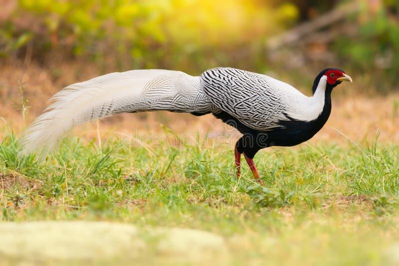 Oiseau à la mode, marchant dans le début de la matinée de champ photo libre de droits