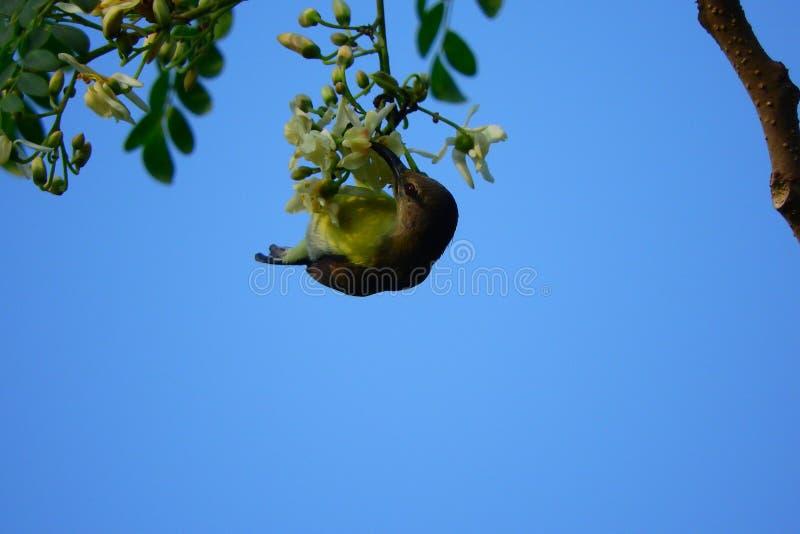 Oiseau accrochant à sucer le miel photo libre de droits