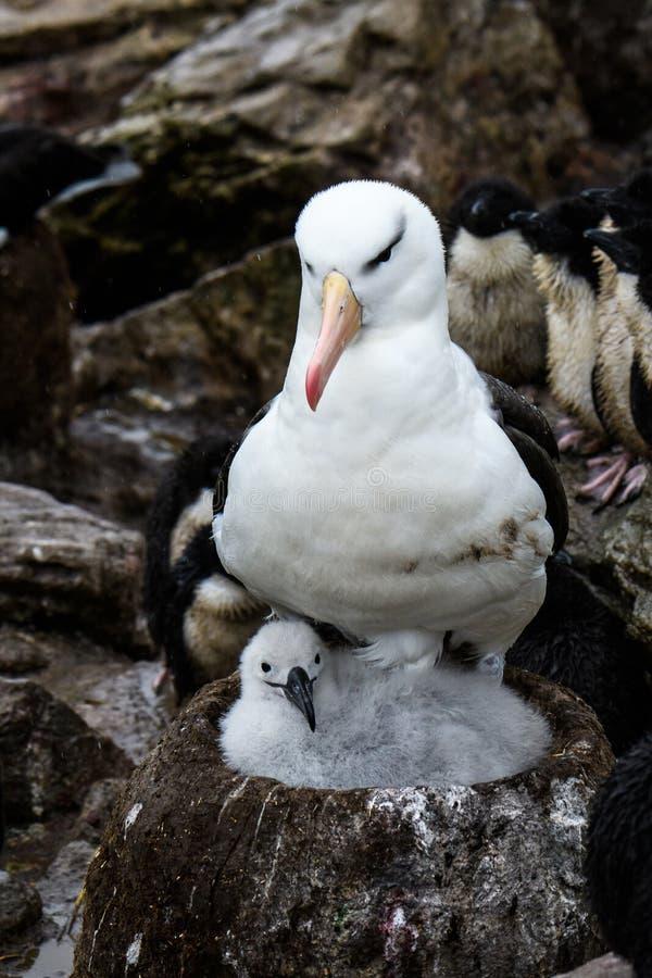 Oiseau adulte d'albatros Noir-Browed sur le nid de boue et d'herbe avec le poussin pelucheux, colonie de freux d'albatros et de p images stock