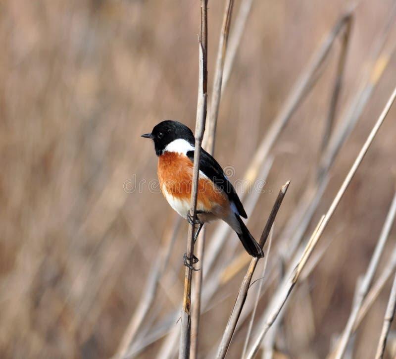 Oiseau africain de traquet image libre de droits