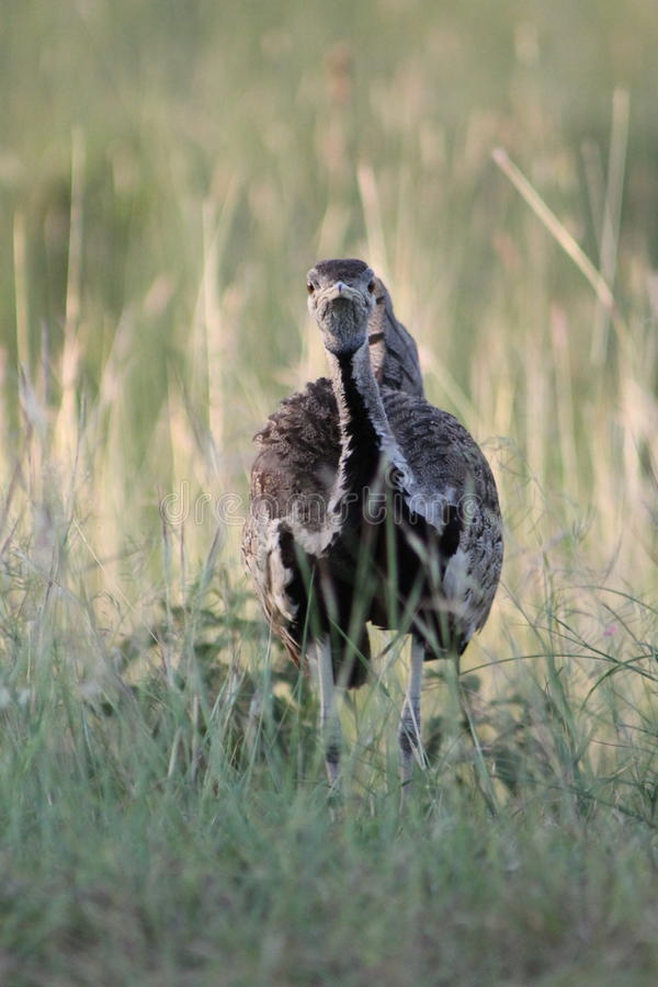 Oiseau africain sauvage image stock
