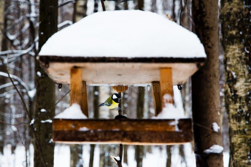 Oiseau alimentant avec les mésanges bleues photos stock