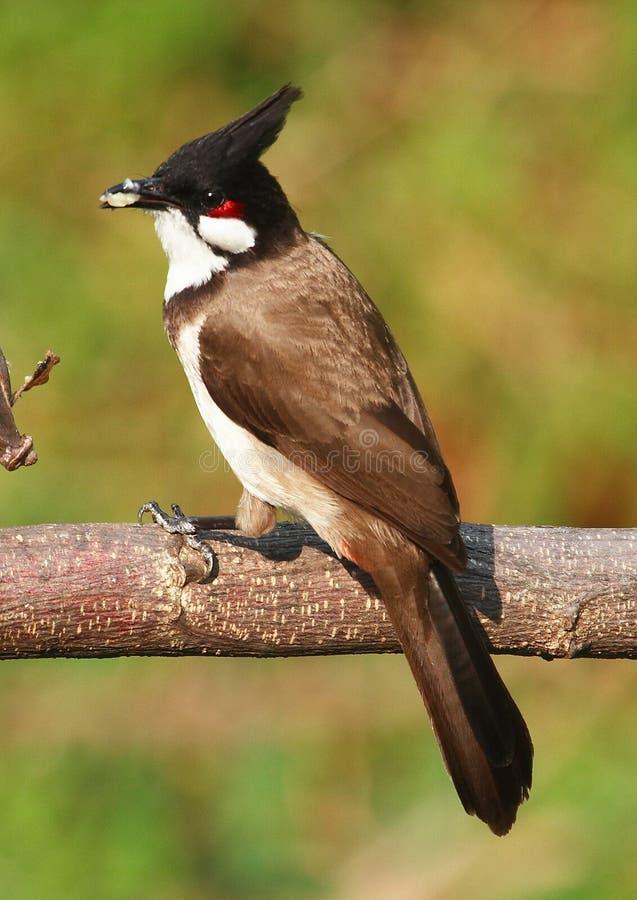 Oiseau alimentant sur le branchement d'arbre. 59-22 jpg photo stock