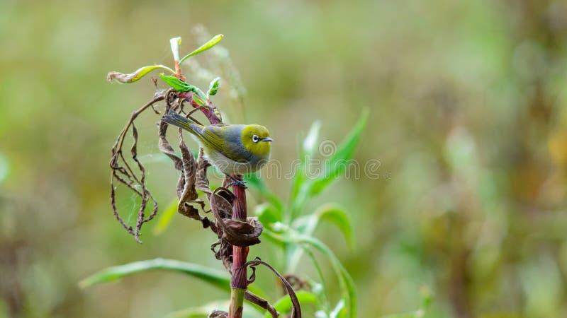 Oiseau argenté d'oeil dans Tuggerah, NSW, Australie image libre de droits