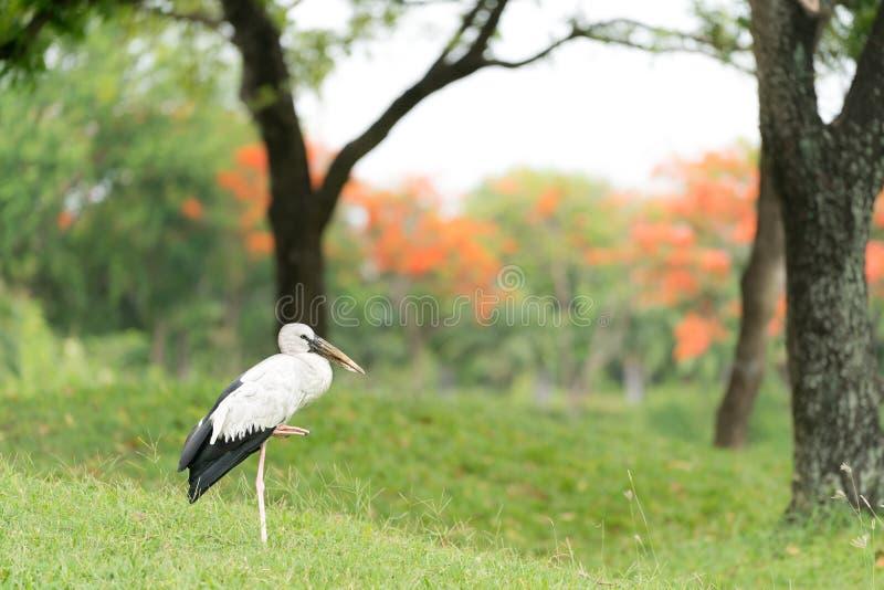 Oiseau asiatique de cigogne d'openbill seul se tenant dans la forêt verte photographie stock libre de droits