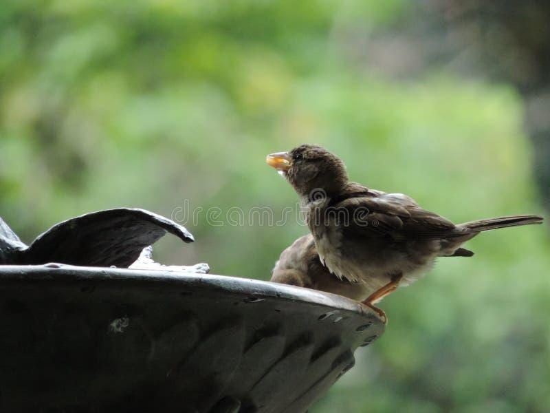 Oiseau assoiffé photo stock
