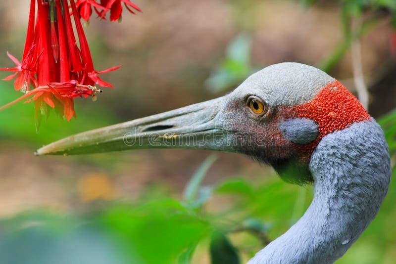 Oiseau Auckland de Brolga image libre de droits