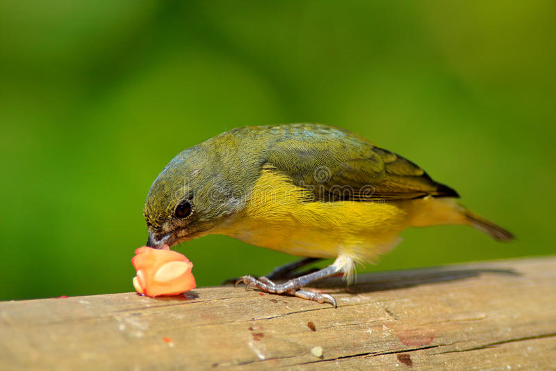 Oiseau avec la nourriture dans l'habitat tropical Euphoniums Jaune-throated d'oiseau bleu et jaune, hirundinacea d'euphoniums, Co photographie stock libre de droits