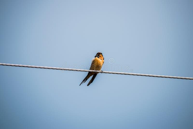 oiseau avec le sein orange image stock