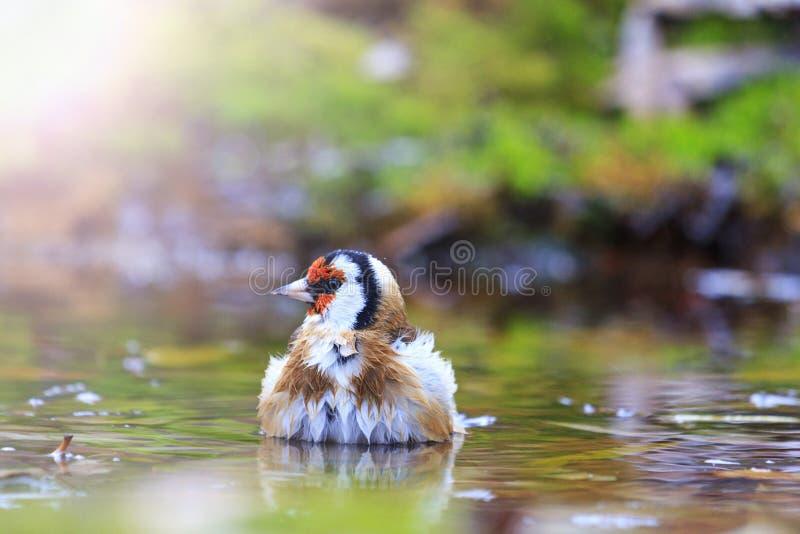 Oiseau avec une tête rouge sur arroser le point névralgique ensoleillé photographie stock