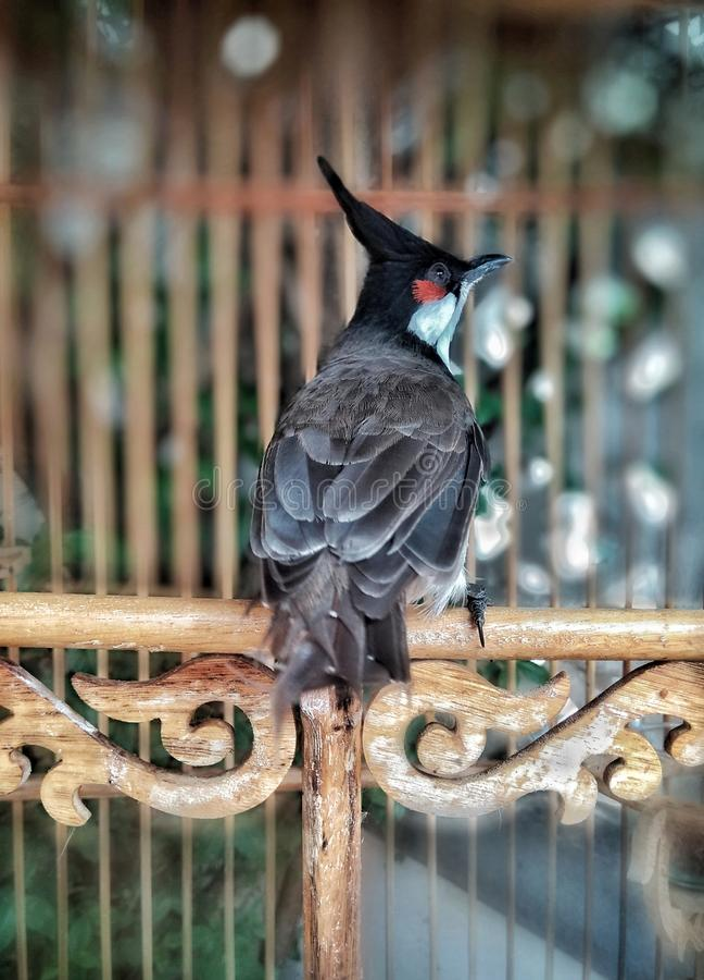 Oiseau barbu rouge de bulbul photos libres de droits