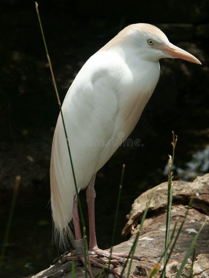 Oiseau blanc photo stock