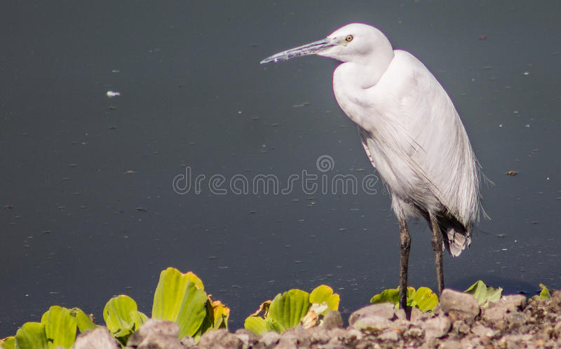 Oiseau blanc de geron photos libres de droits