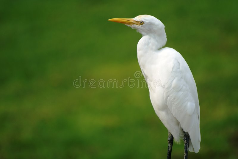Oiseau blanc grand de h ron photo stock image du for Oiseau tout blanc