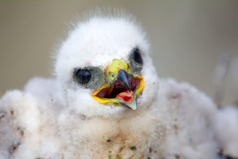 Oiseau blanc magnifique des poussins de proie : Rugueux-à jambes image libre de droits