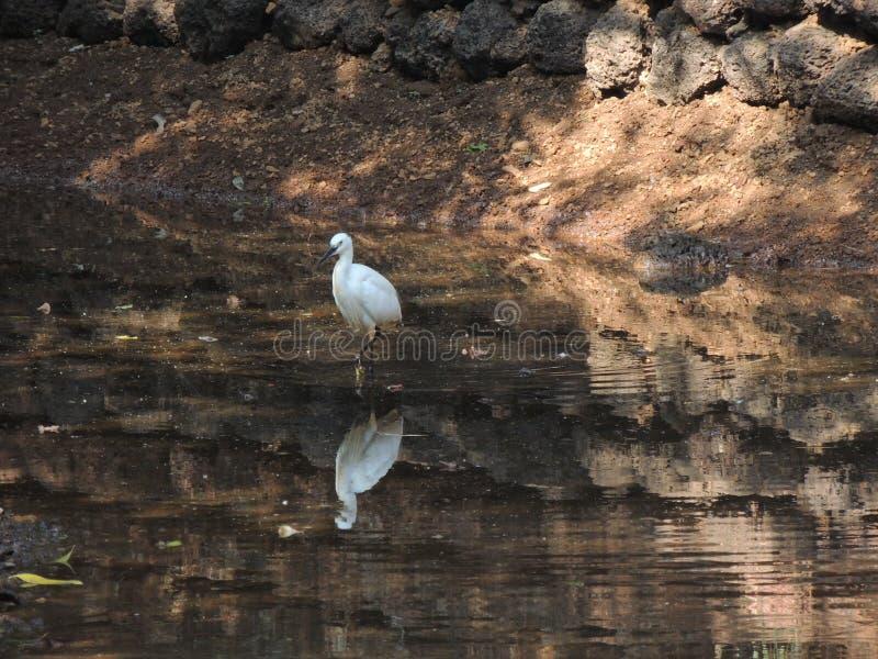 Oiseau blanc se tenant dans la nature de l'eau images libres de droits