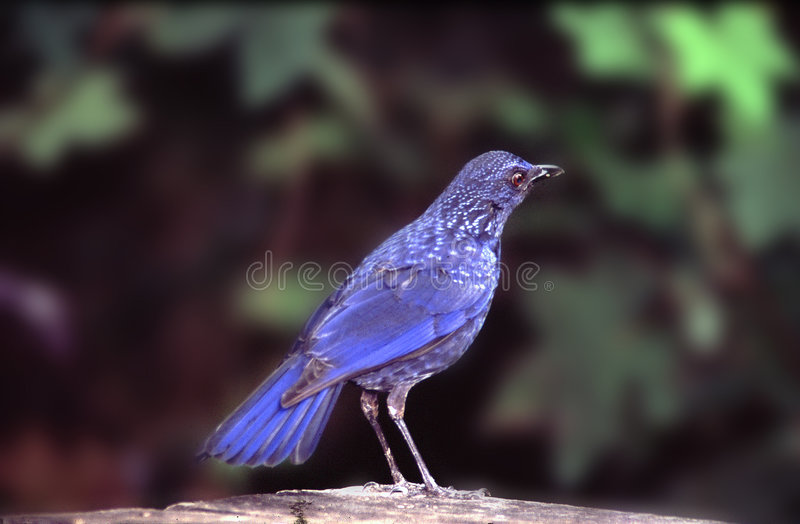 Oiseau bleu photo libre de droits