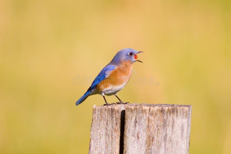 Oiseau bleu avalant une baie rouge image stock