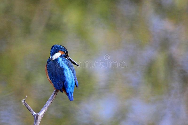 Oiseau bleu commun de martin-pêcheur, Ranthambore, Inde photos stock