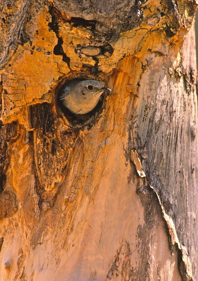 Oiseau bleu de montagne à la cavité d'emboîtement images libres de droits
