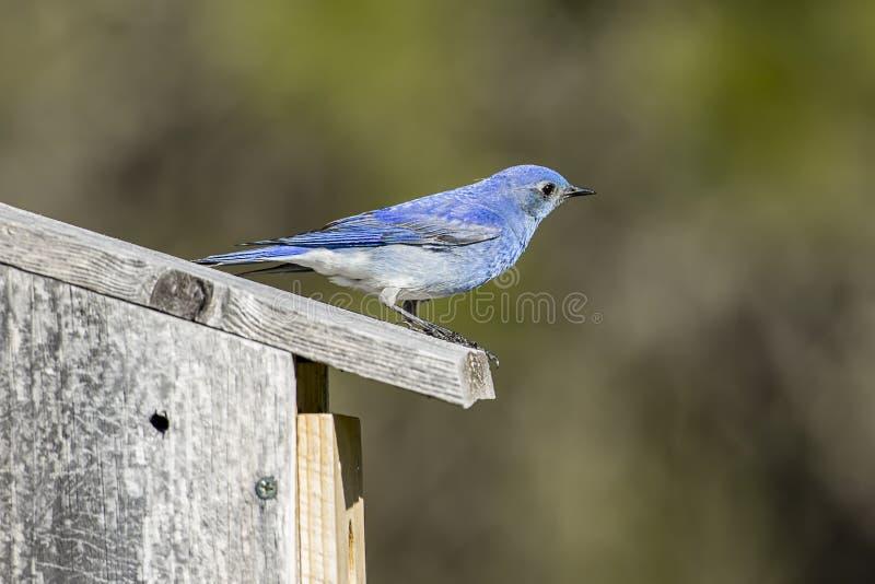 Oiseau bleu de montagne été perché sur sa volière images libres de droits