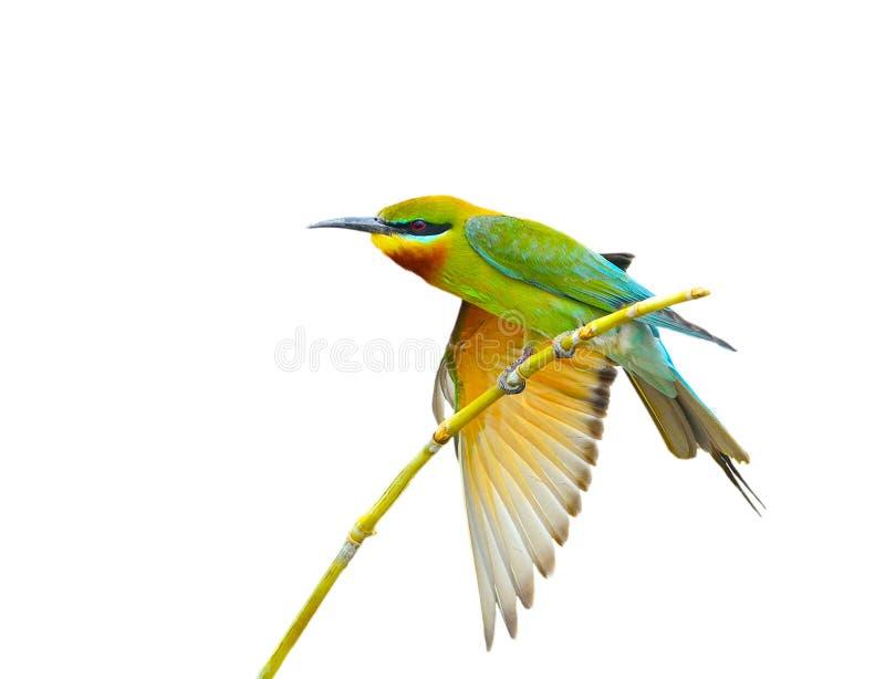 Oiseau bleu de perruches image libre de droits