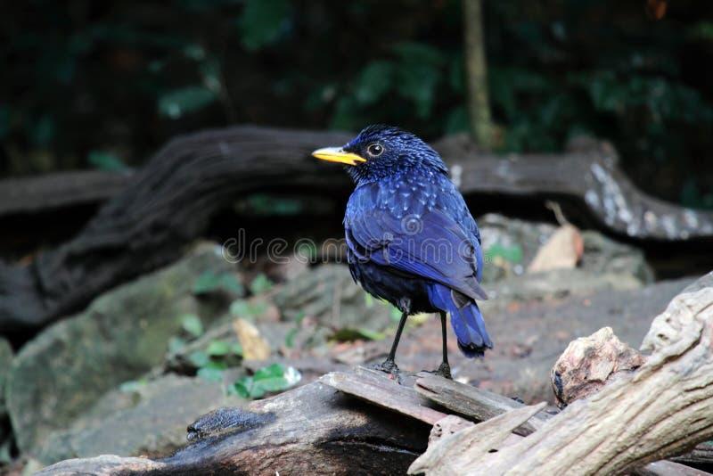 Oiseau bleu de Siffler-grive image libre de droits