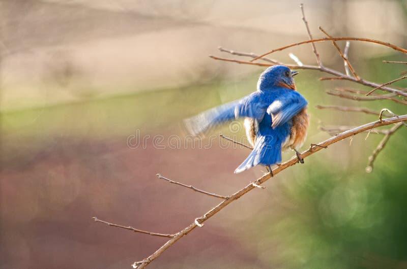 Oiseau bleu effectuant le vol photographie stock