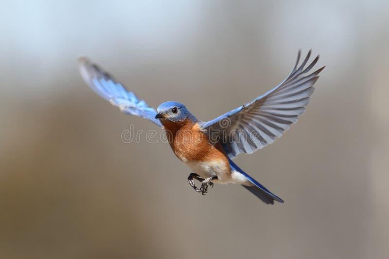 Oiseau bleu en vol images libres de droits