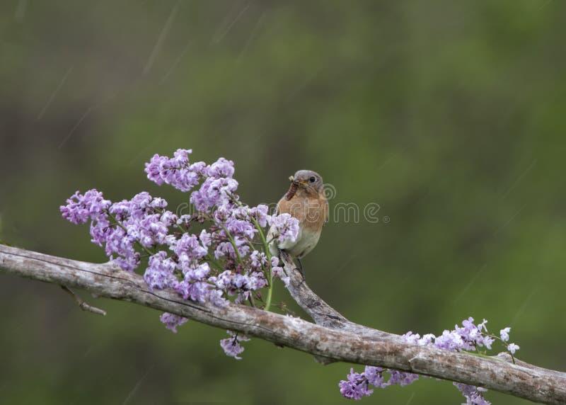 Oiseau bleu femelle sur des lilas sous la pluie photographie stock