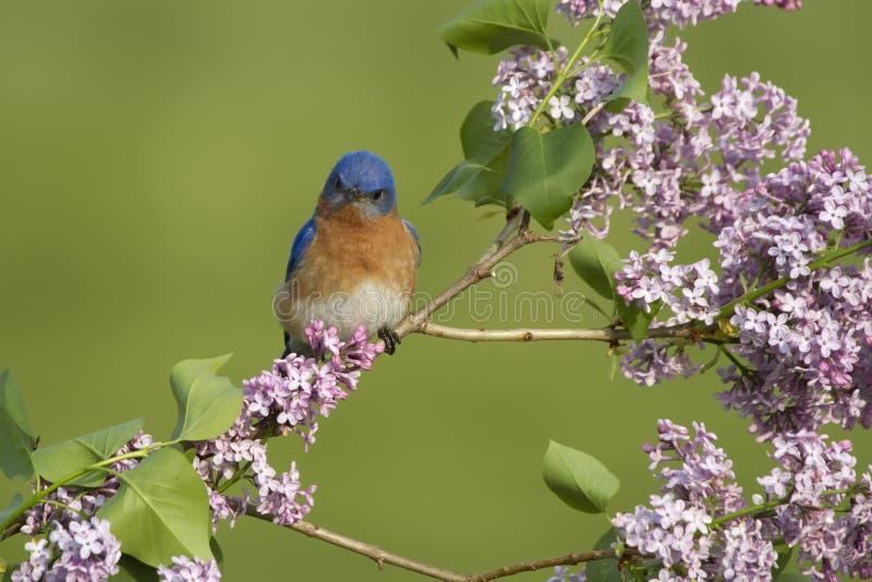 Oiseau bleu oriental été perché dans les lilas photo libre de droits