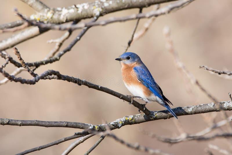 Oiseau bleu oriental image stock