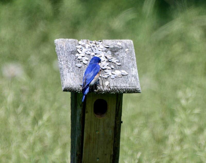 Oiseau bleu oriental #3 photo libre de droits