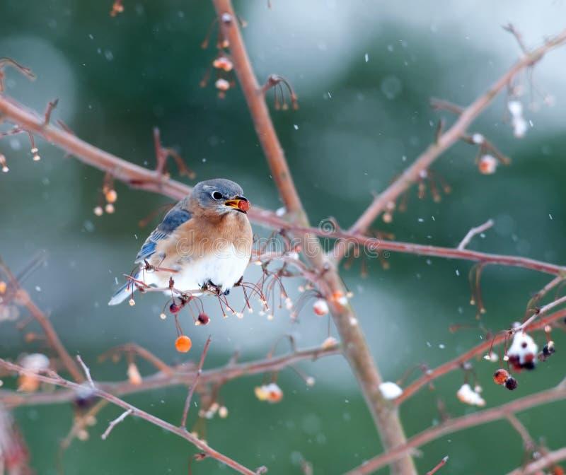 Oiseau bleu oriental dans la tempête de neige légère image stock