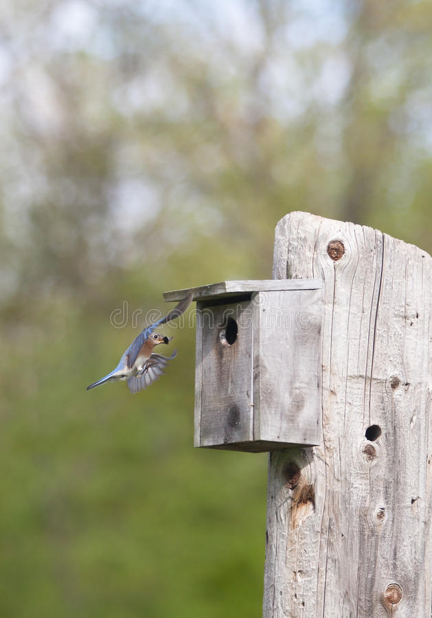 Oiseau bleu oriental en vol photo libre de droits