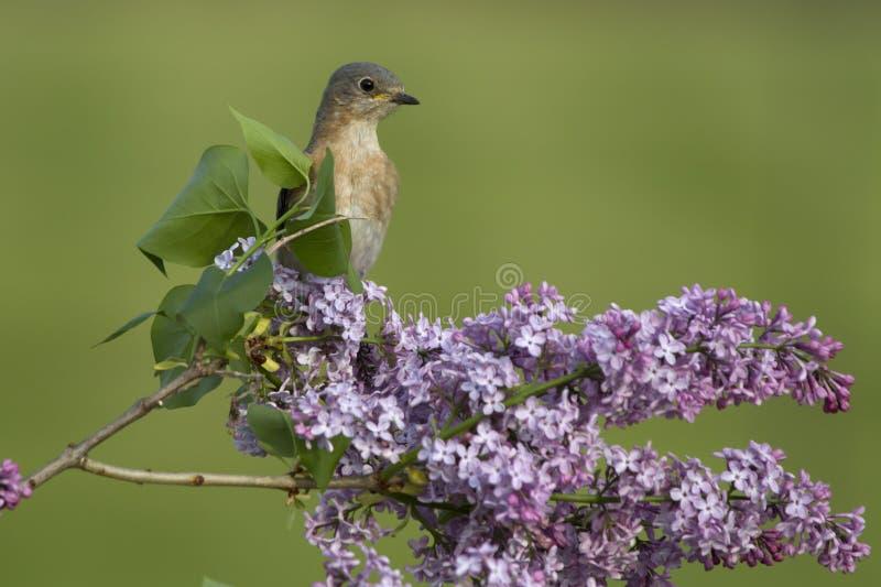 Oiseau bleu oriental femelle été perché dans les lilas photos libres de droits