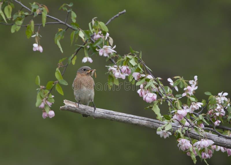 Oiseau bleu oriental femelle été perché en fleurs roses images stock