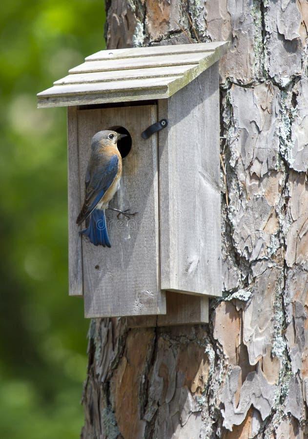 Oiseau bleu oriental femelle été perché sur une volière photo stock