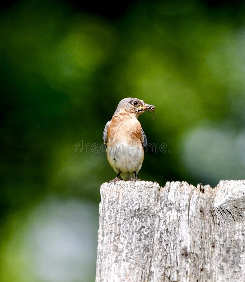 Oiseau bleu oriental femelle avec un insecte #2 images stock