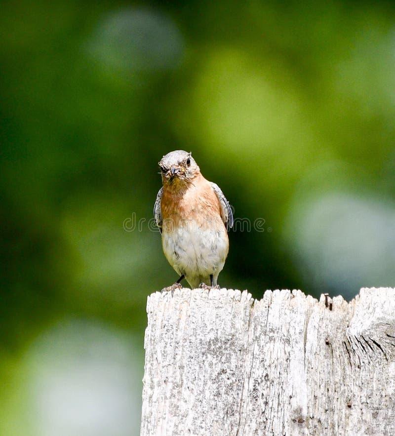 Oiseau bleu oriental femelle avec un insecte #4 photos stock