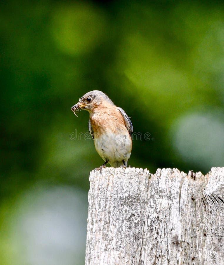 Oiseau bleu oriental femelle avec un insecte #5 images libres de droits