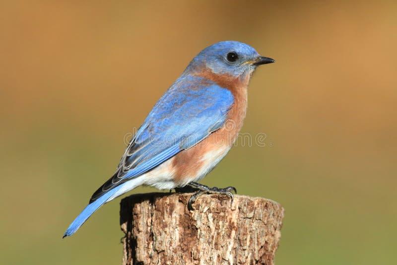 Oiseau bleu oriental mâle photos libres de droits