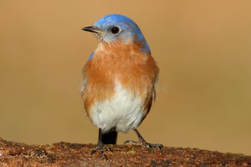 Oiseau bleu oriental mâle photos stock