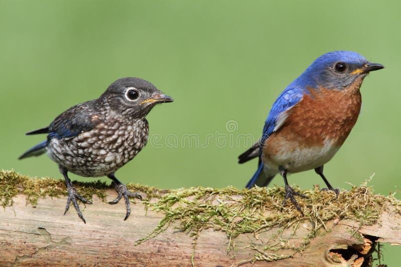 Oiseau bleu oriental mâle avec la chéri images libres de droits