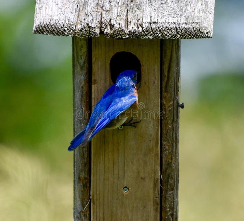 Oiseau bleu oriental masculin #1 image libre de droits