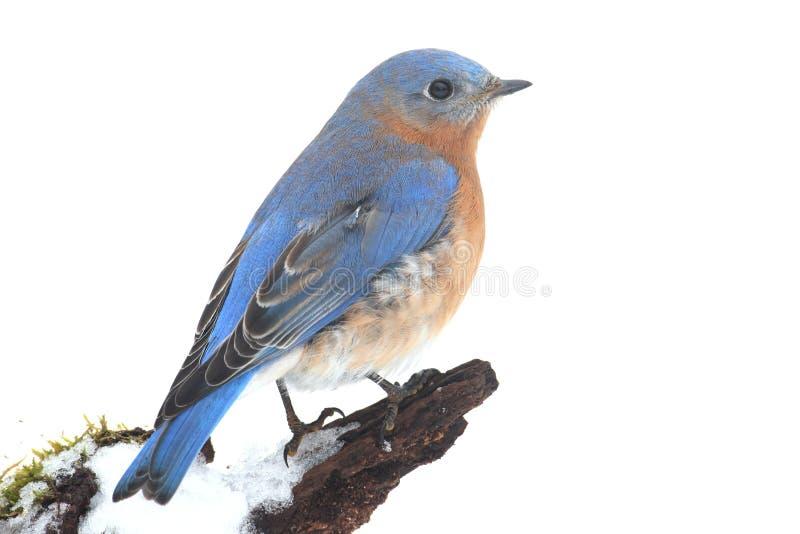Oiseau bleu oriental masculin dans la neige image libre de droits