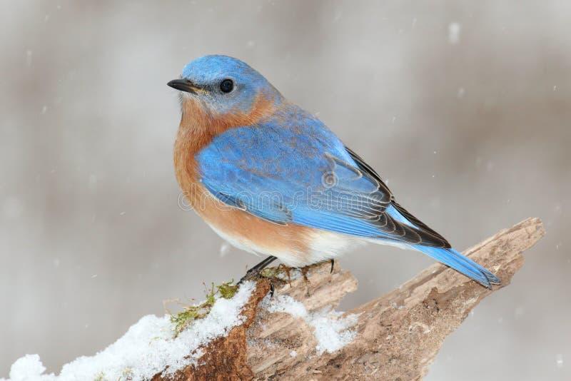 Oiseau bleu oriental masculin dans la neige photos libres de droits