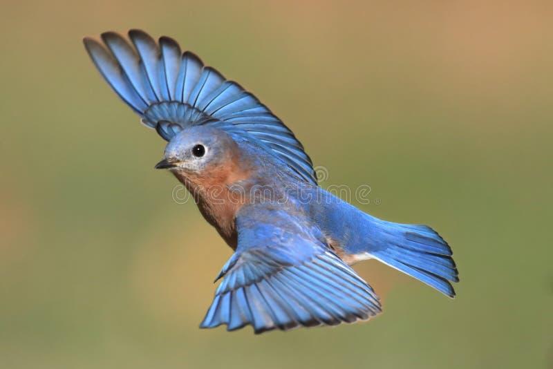 Oiseau bleu oriental masculin en vol photographie stock libre de droits