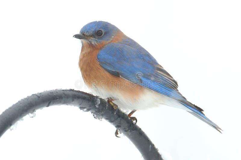Oiseau bleu oriental masculin sur un poteau photo libre de droits