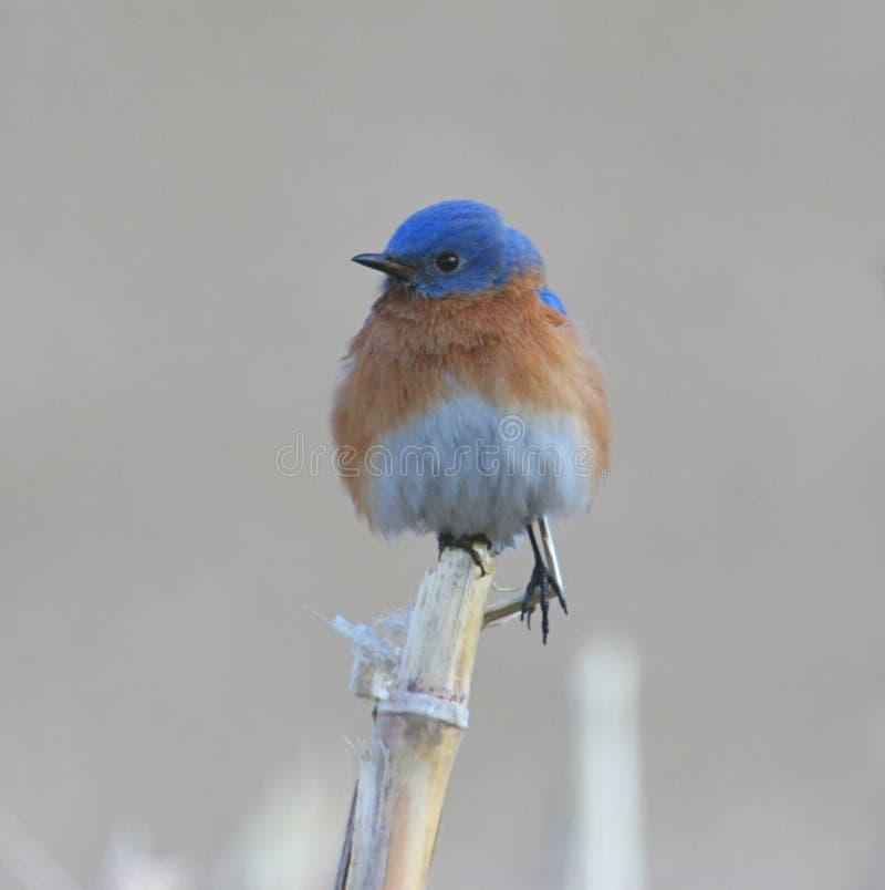 Oiseau bleu oriental sur Cornstalk photographie stock